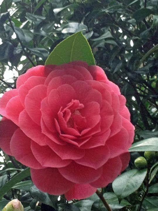 Camellia flower in Champoeg Park near Wilsonville, Oregon ...