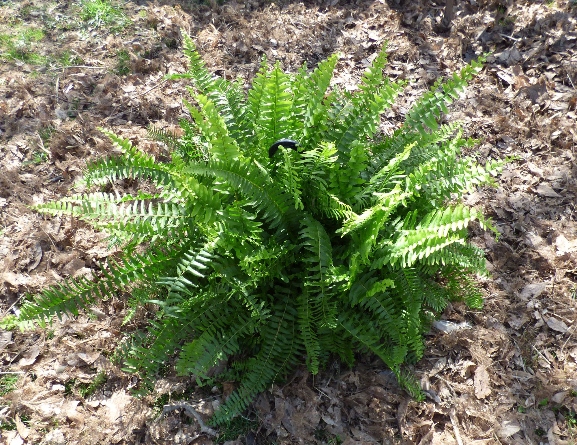 winter care for boston fern how to overwinter a boston fern plant boston ferns cold. Black Bedroom Furniture Sets. Home Design Ideas