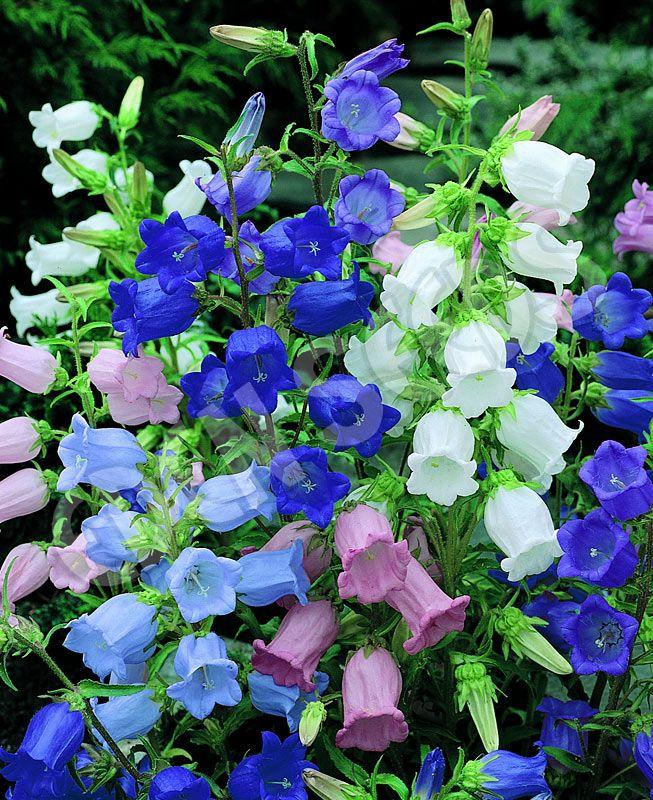 Canterbury Bells Campanula Medium Constancy Backyard Flowers Plants Planting Flowers