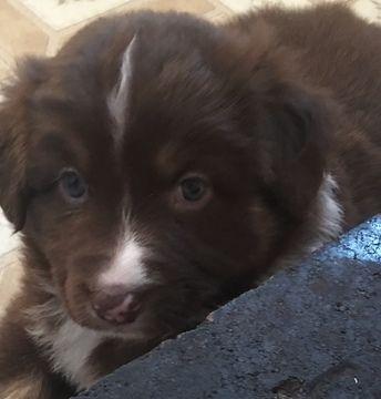 Litter of 7 Australian Shepherd puppies for sale in PINE ...