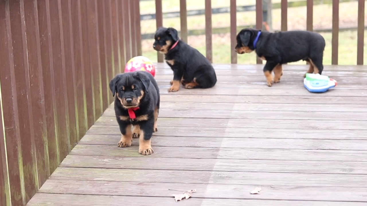 Rottweiler Puppies For Sale Video Video Rottweiler Puppies Rottweiler Puppies