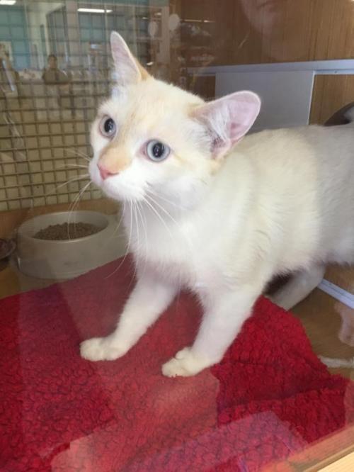 Adopt Jewelz On Petfinder Siamese Cats Cat Adoption Cats