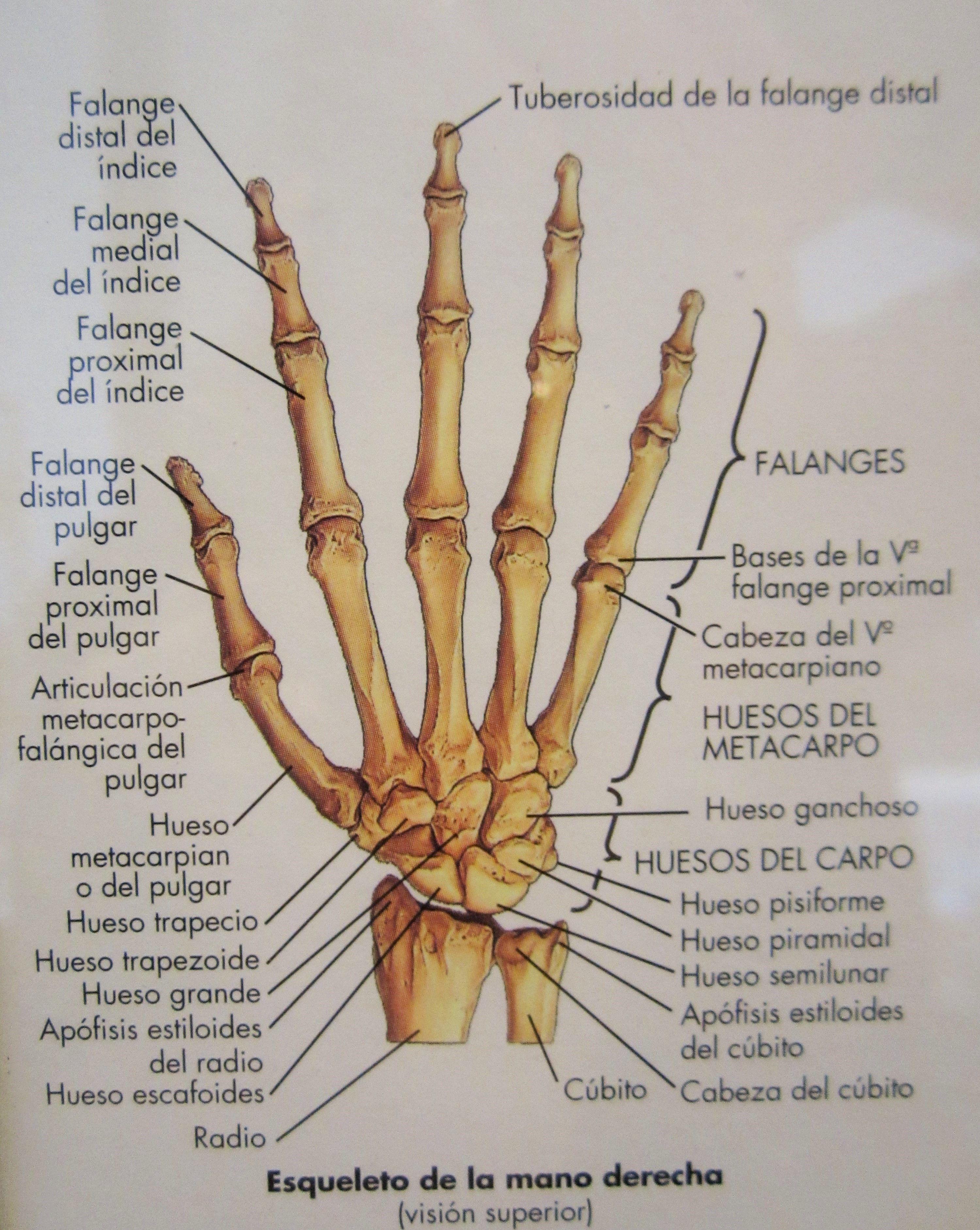Esqueleto de la mano derecha (Visión superior) El esqueleto humano ...