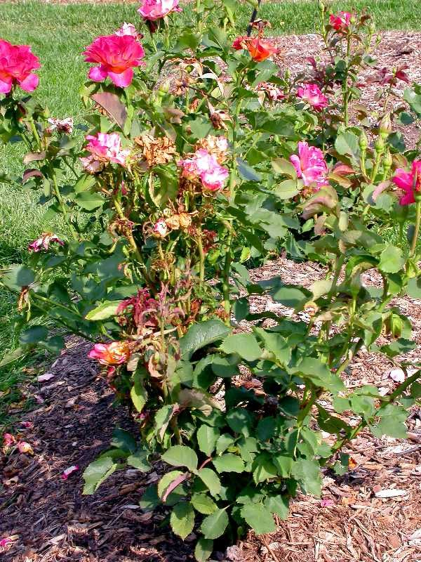 Rose Rosette disease symptoms causes treatments. Rosette