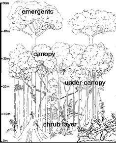 Amazon Rainforest Tree Outline Google Search Amazon Rainforest