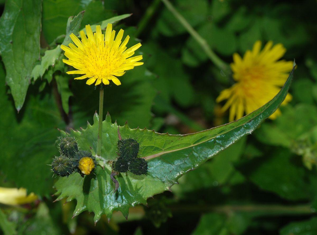 Pin by Kim H on Wildflower Wild edibles, Plants, Edible