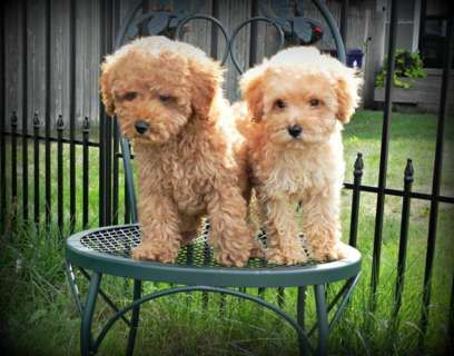 Image Result For Full Grown Miniature Goldendoodle Cute Animals