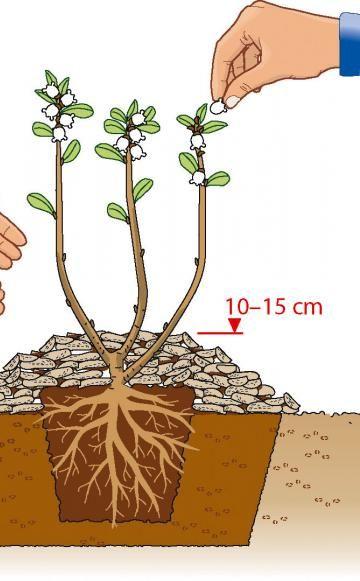 Bei der Frühlingspflanzung sollte man die Blüten entfernen