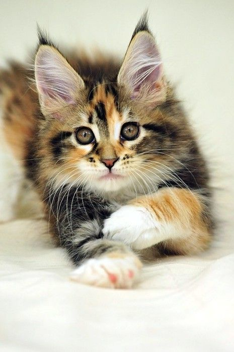 So adorable.. Especially the eyes!! Maine Coon kitty