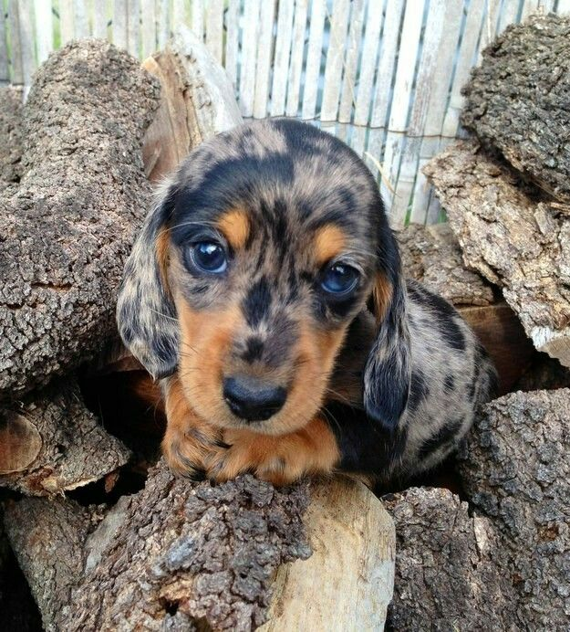 Black And Silver Dapple Dachshund Cute Dogs Puppies Dogs And Puppies