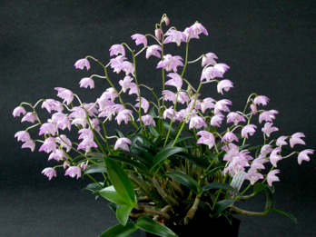 Dendrobium Kingianum Care Sheet Have Several Repotted All Aug 2012 Orchids Orchid Plants Beautiful Flowers