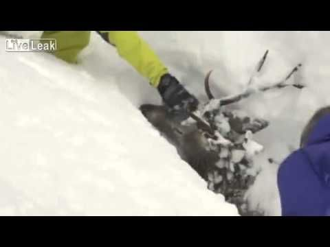 http://youtu.be/riRa44oy210 snow-trapped deer released!