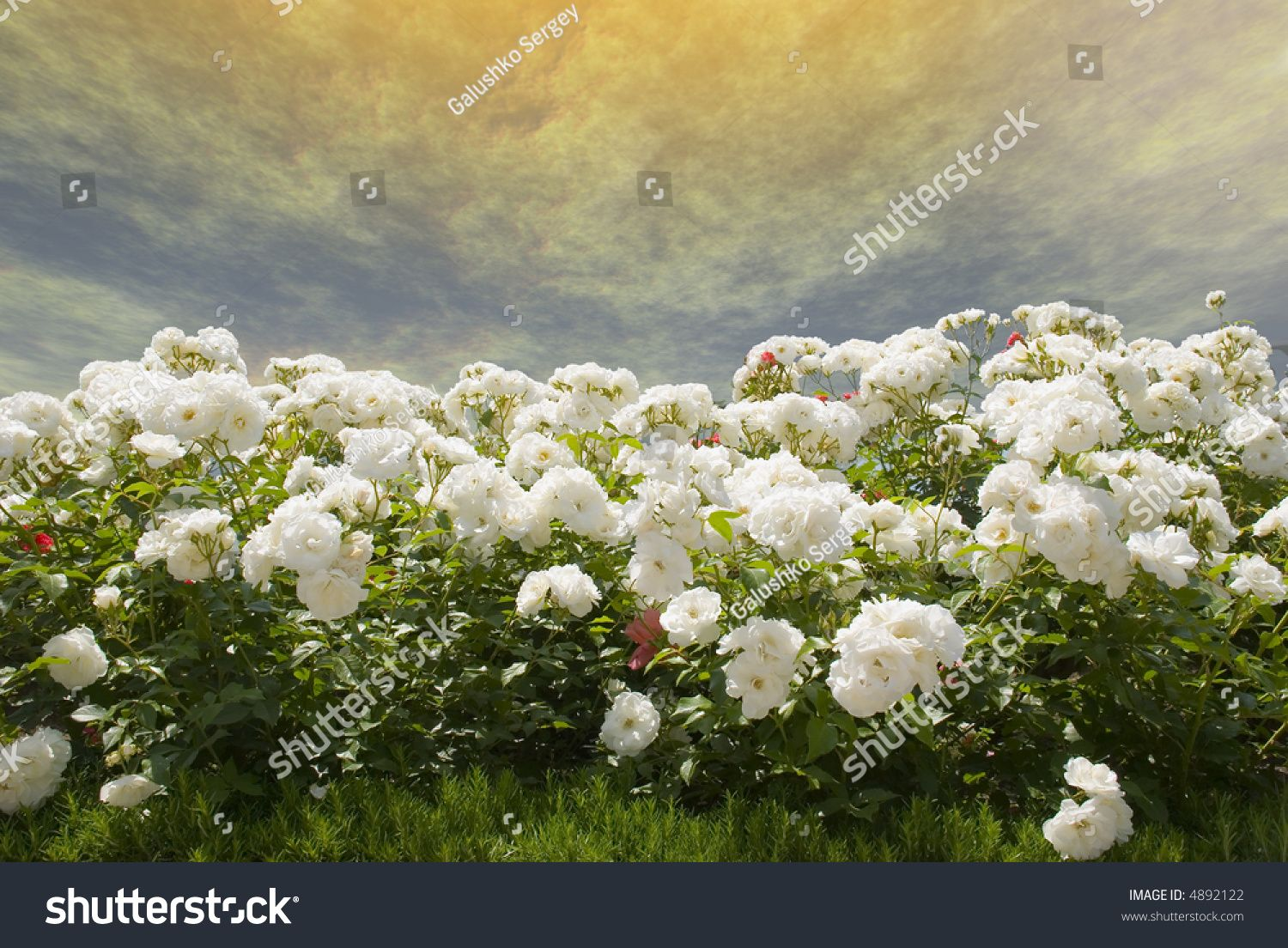 Field Of White Roses On A Background Of The Gold Storm Sky Flower