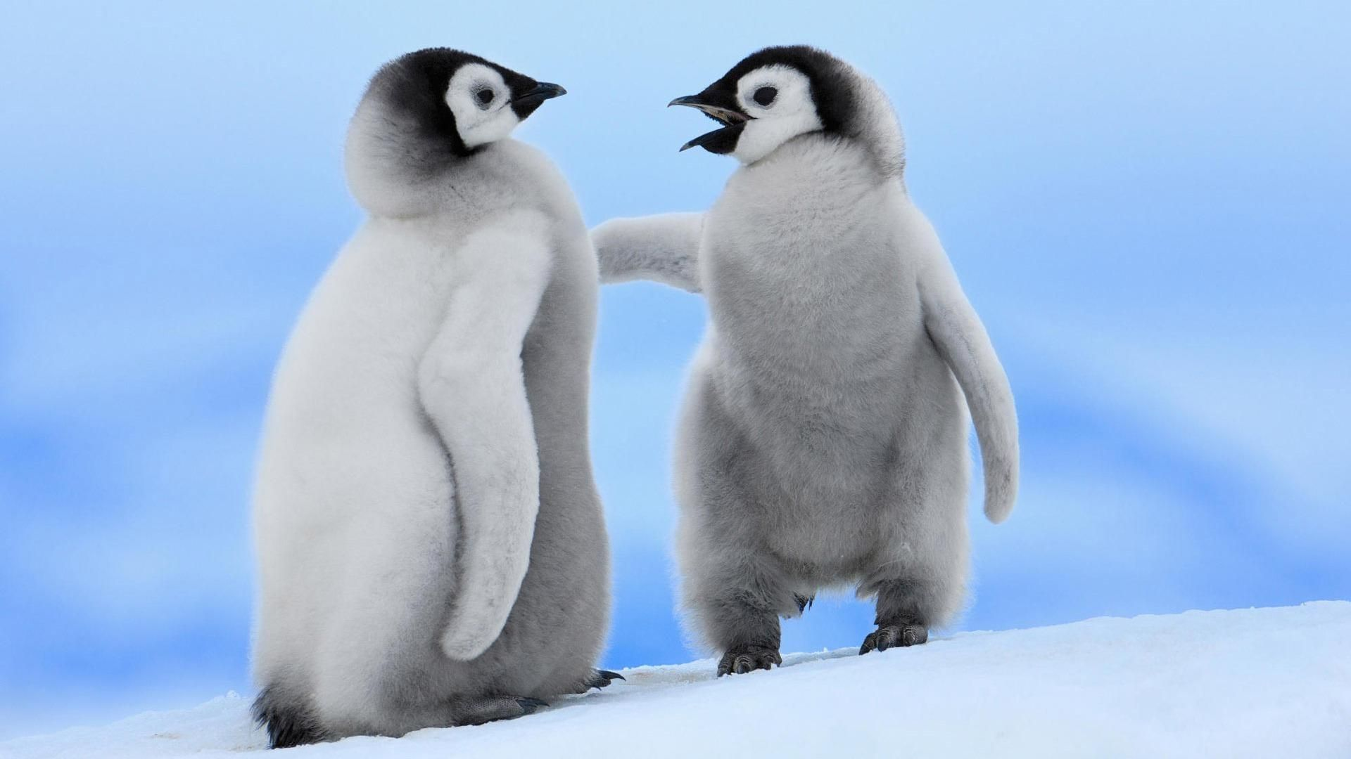 Penguin Hd Wallpapers And Backgrounds Baby Animals Pictures Cute Baby Penguin Penguins