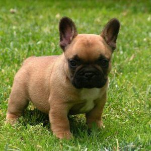 French Bulldog puppies price range. How much do French