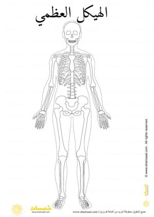 الهيكل العظمي تلوين شكل حقيقي علوم للاطفال Art Humanoid Sketch Image