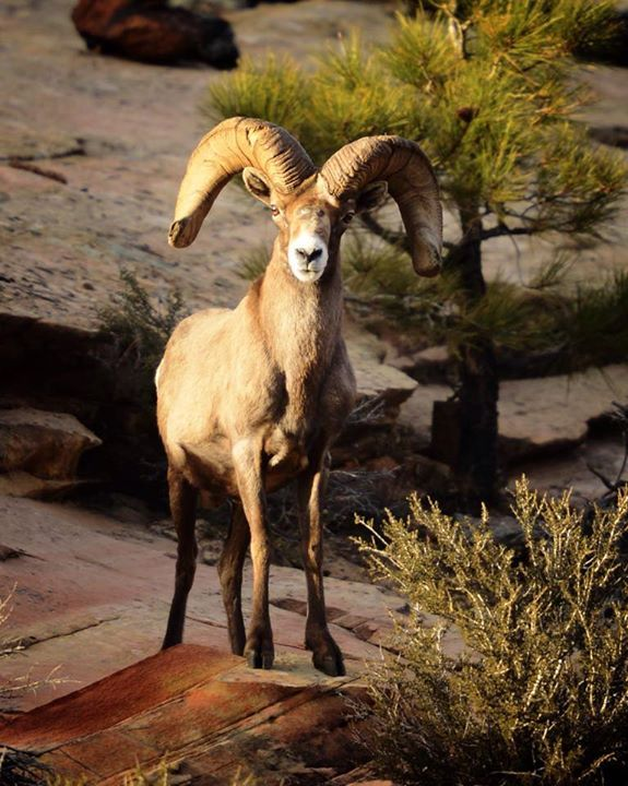 The Prong-horn population is growing, often seen in Zion Natl Park and increasingly in our local slot canyons.