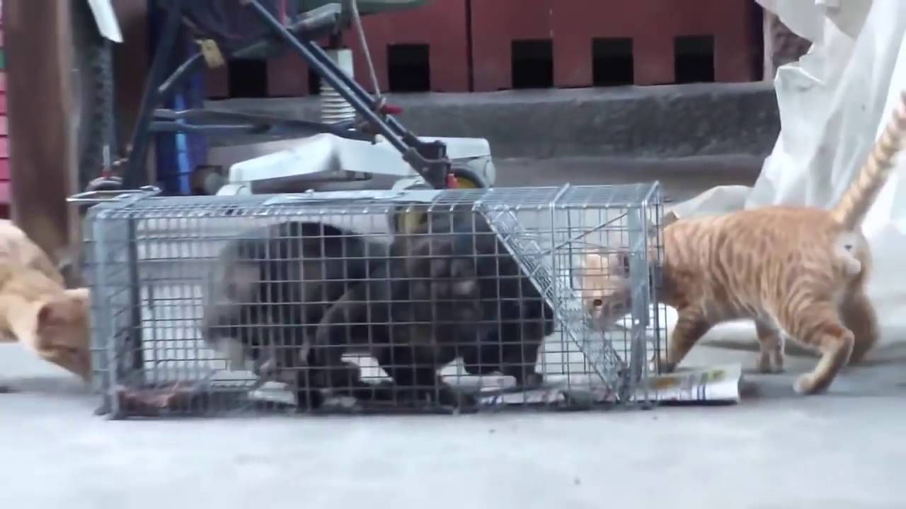 Amazing Catching Cat by using Humane Cat Trap for Feral