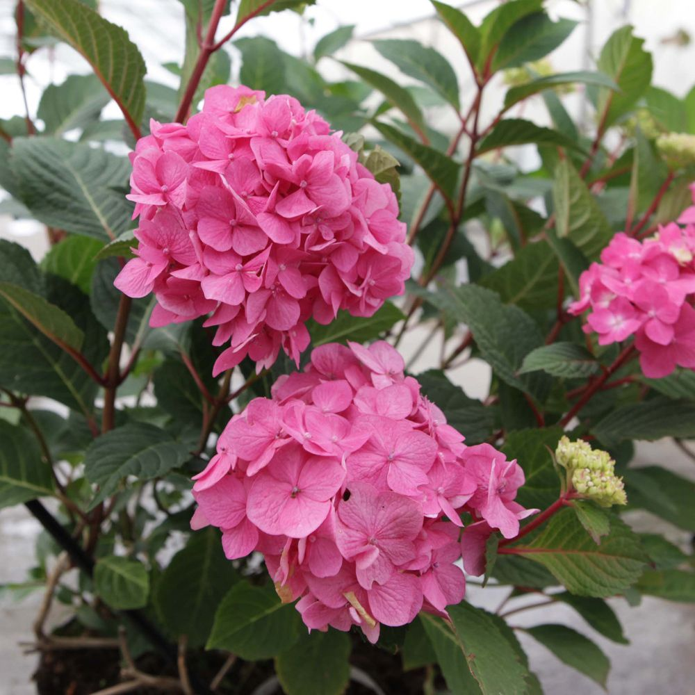 Hydrangea macrophylla 'Endless Summer - Bloomstruck'