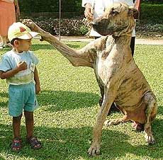 The Gentle Giant Great Dane Dogs Great Dane Dane Dog