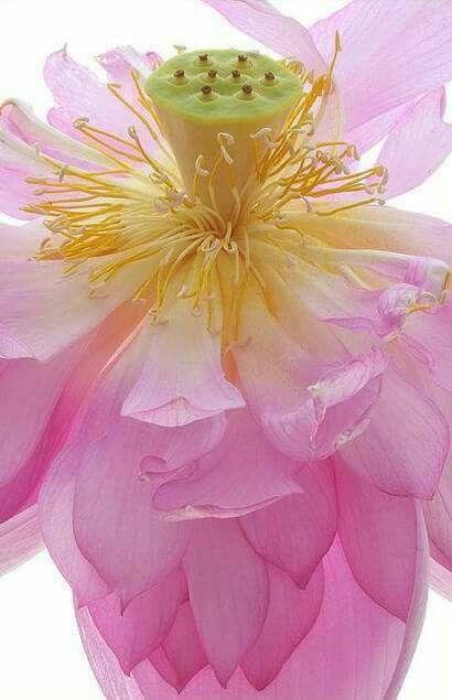 Asian Lotus Flower Lotus Flowers Lotus Flower Images Lotus