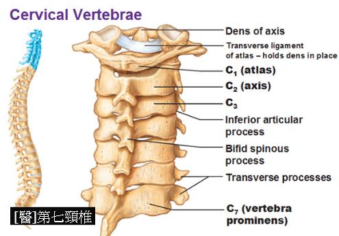 Risultati immagini per vertebra prominens | anatomy | Pinterest ...