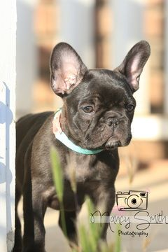French Bulldog Puppy For Sale In Riverside Ca Adn 32266 On