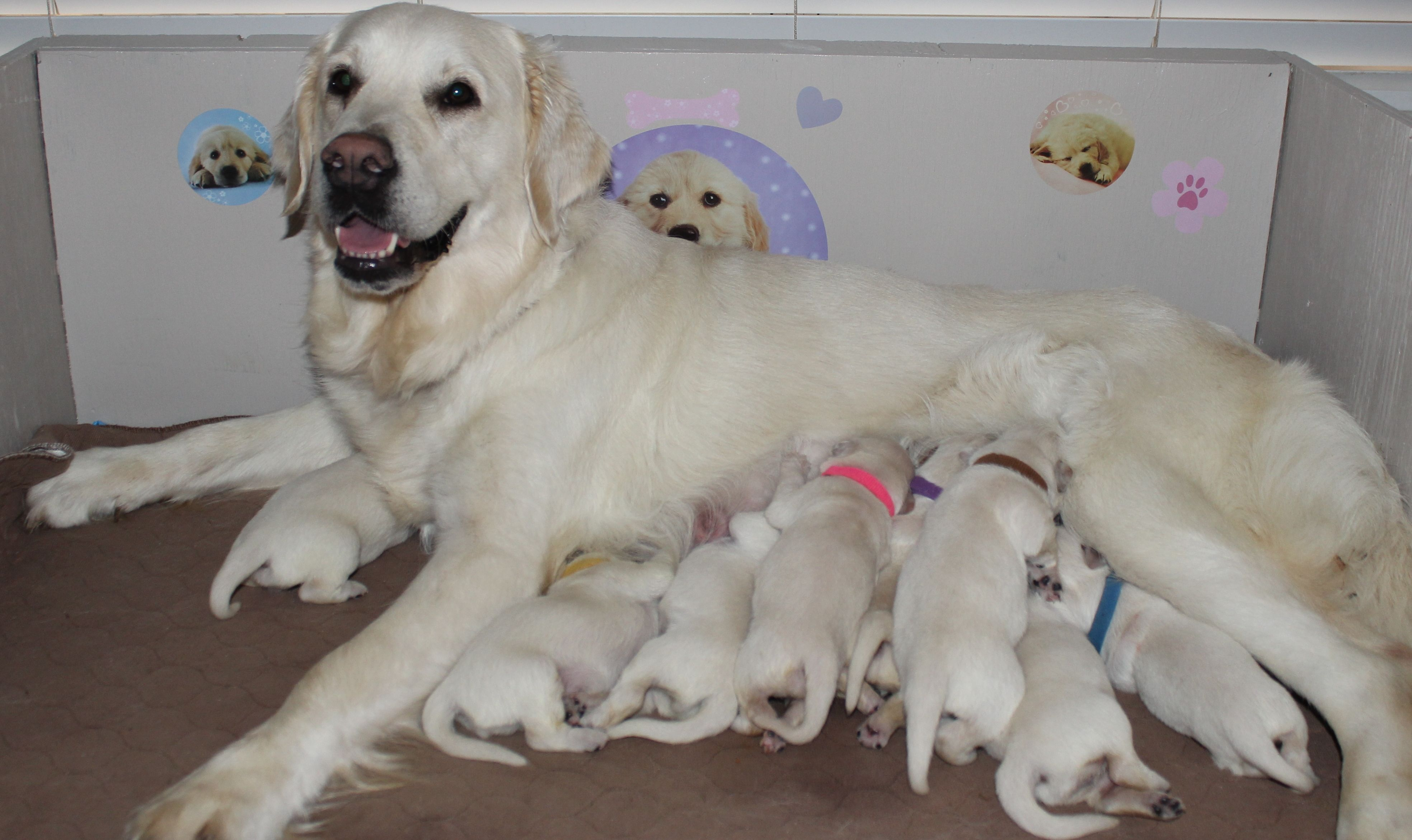 Welcome American Golden Retriever Golden Retriever Breeder Golden Retriever