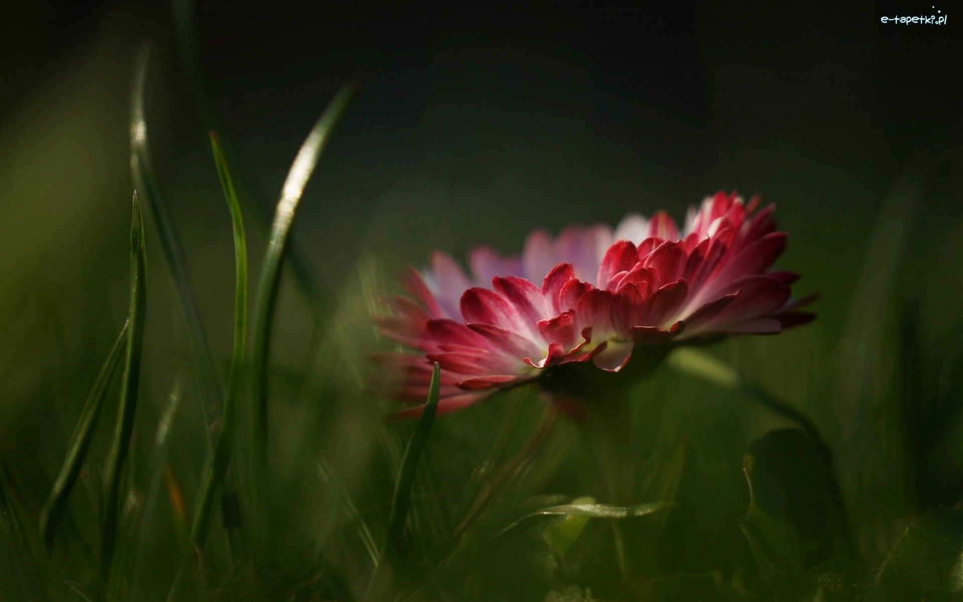 Makro Stokrotka Beautiful Flowers Photography Macro Flower Beautiful Sites