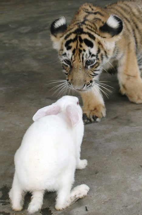 bunny and tiger