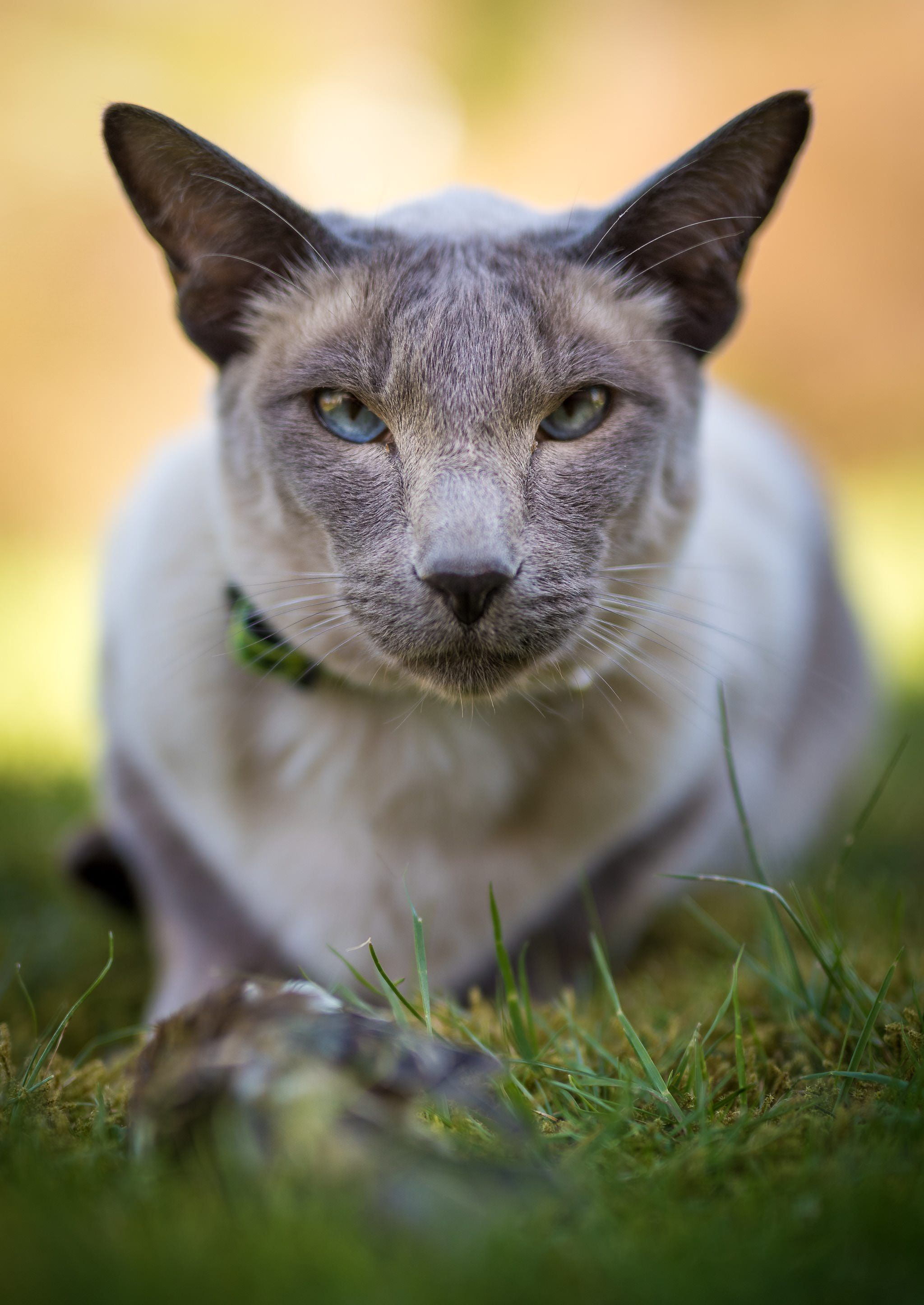 What are some low maintenance cat breeds? cat recipes pet