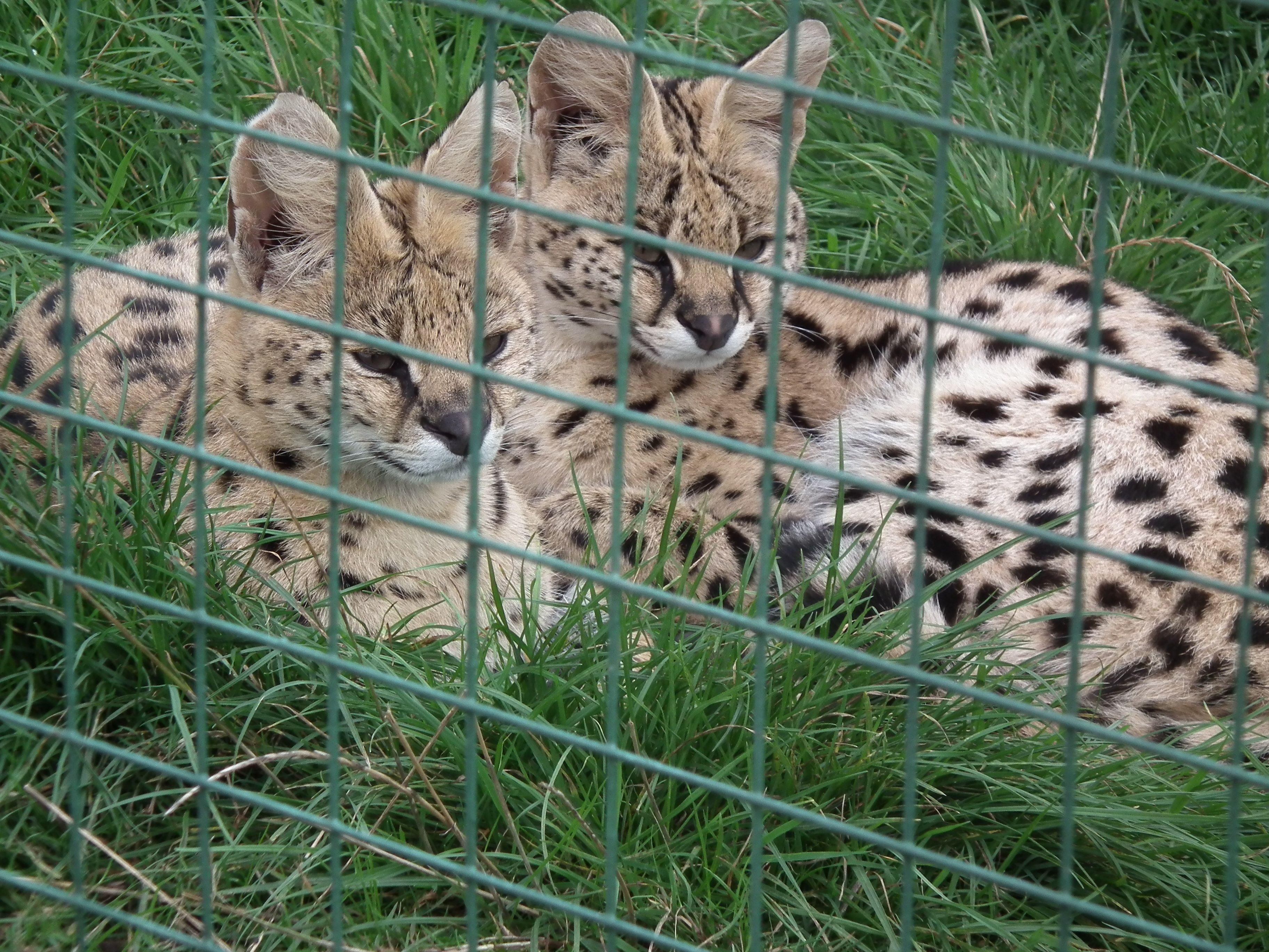 Serval mum and her daughter
