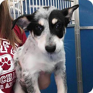 Flagstaff Az Border Collie Mix Meet Berdie A Puppy For Adoption Http Www Adoptapet Com Pet 17405310 Flagstaff Ari Border Collie Mix Puppy Adoption Pets
