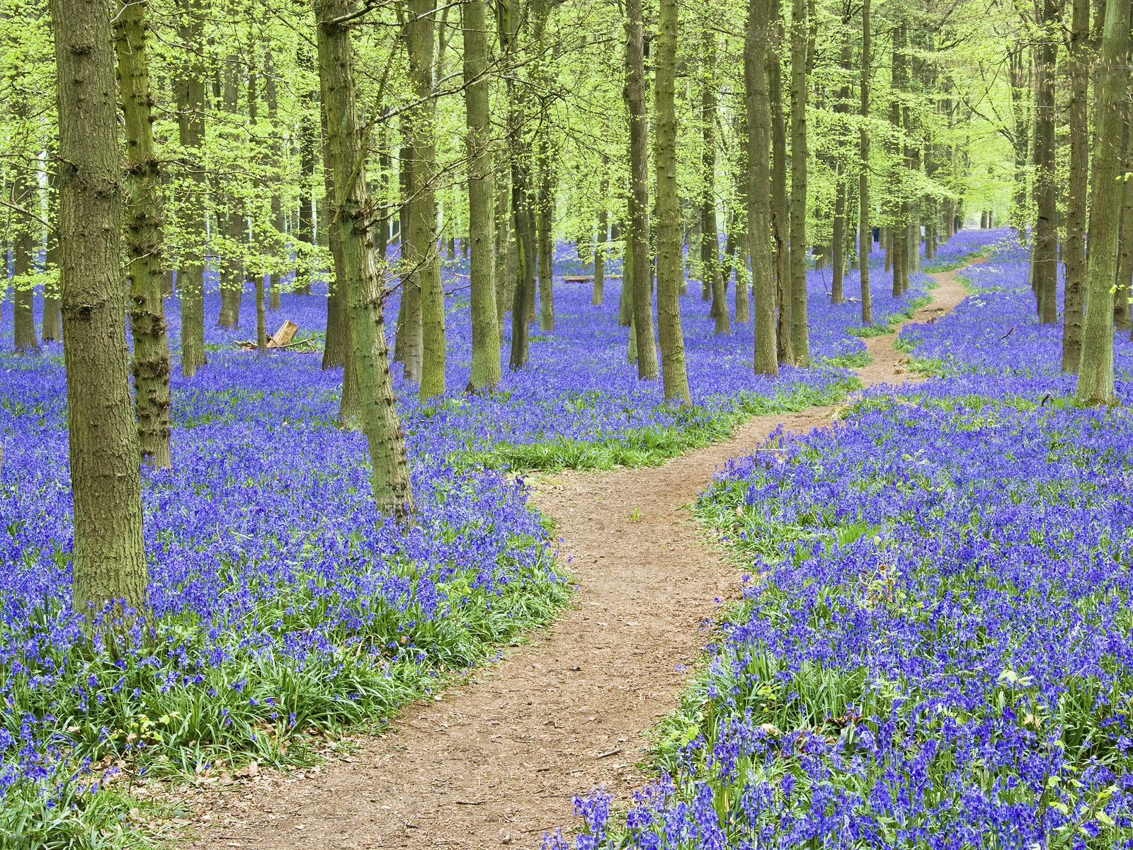 Bluebells Ashridge Forest Hertfordshire England Flowers
