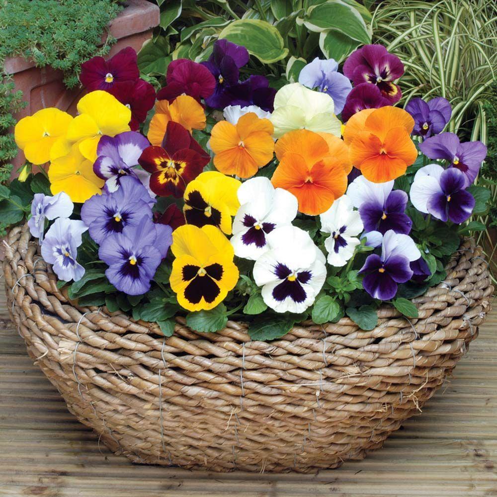 Floweringviola Wittrockiana Flowering Pansies Summer Spring Winter Pansy Bloom Fall And In Xpansy Summer Flo Pansies Flowers Pansies Flower Seeds