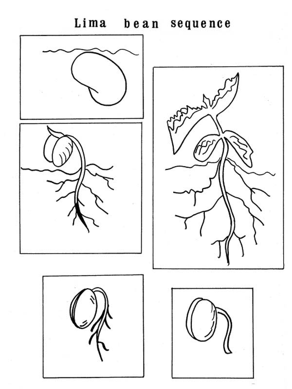 Growing Plants Lima Bean Sequence Coloring Page Coloring Sky Coloring Pages Sunflower Coloring Pages Free Coloring Pages