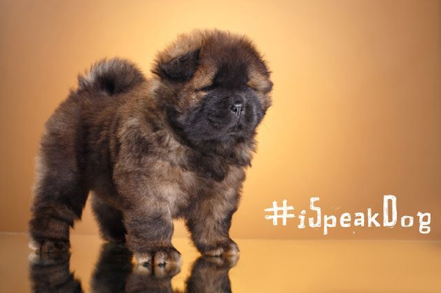 A Chow Chow Puppy Poses With The Hashtag Ispeakdog