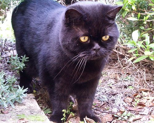 In The Garden Black British Shorthair Flickr Photo Sharing British Shorthair Cats British Shorthair Cats