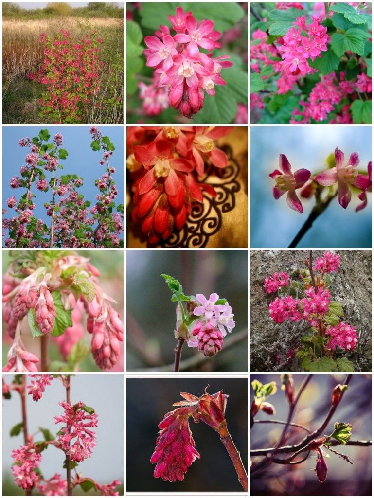 Red flowering currant one of my favorite natives plants 50 natives washington state ribes sanguineum red flowering currant cultivate your garden style publicscrutiny Image collections
