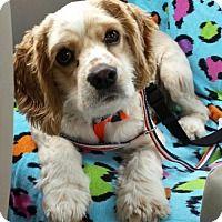 Cocker Spaniel Dog for adoption in Etters, Pennsylvania