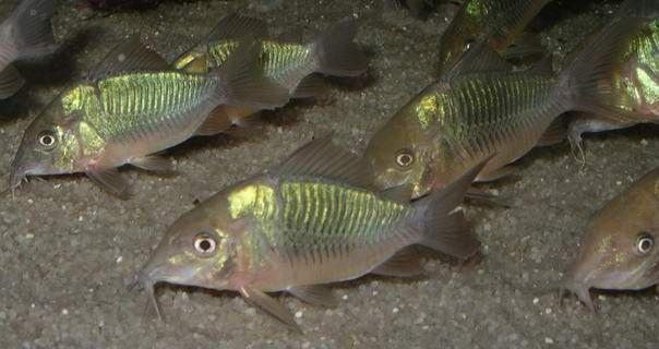 Brochis Splendens Smaragd Corydoras Aquarium Fish Catfish Aquarium Catfish