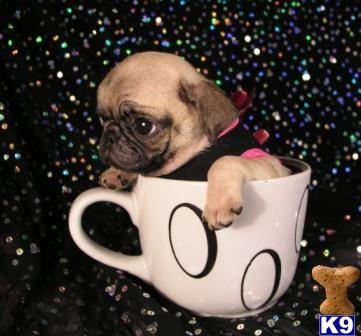Pug Puppies Teacup Pug Pug Puppies For Sale Cute Pugs