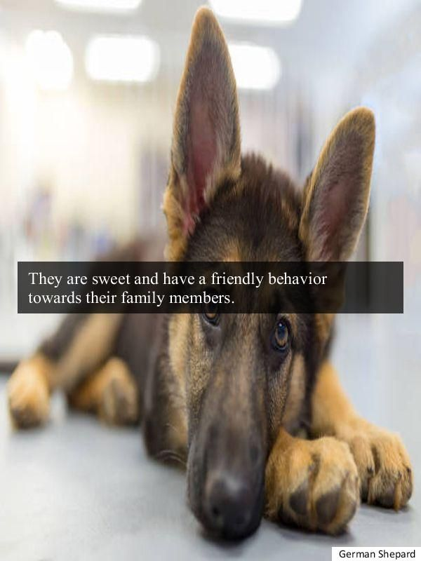 Incredible Purebred German Shepherd Puppies For Sale Near Me