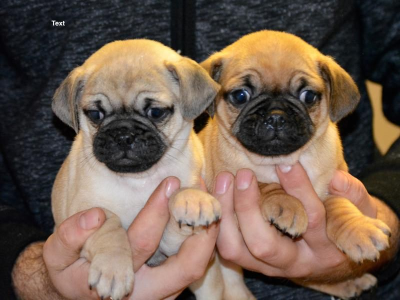 3 X2f 4 Pug Puppies Designer And Cross Breed Puppies For Sale