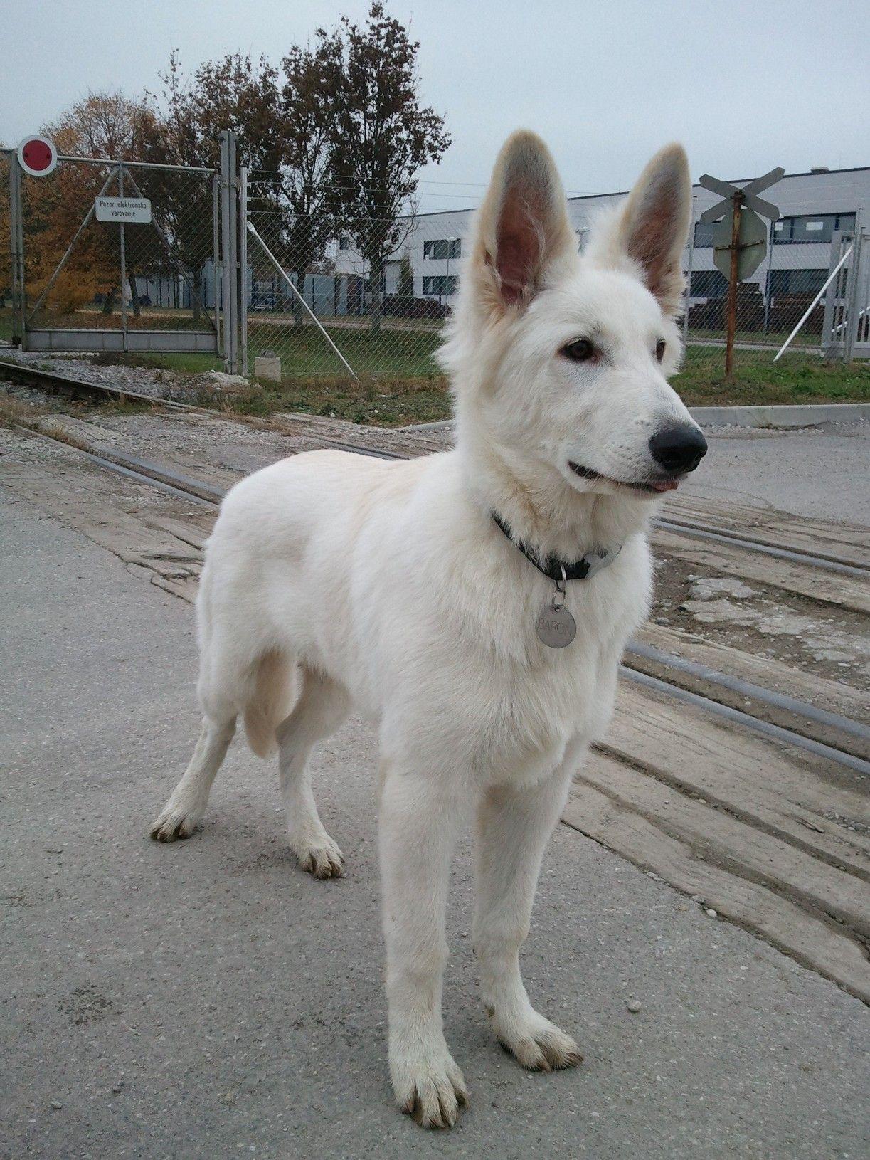 Berger Blanc Suisse Dog Photo Ovcar Berger Blanc Suisse White Swiss Shepherd Dog Pesjanar Si Weisser Schaferhund Schweizer Schaferhund Hunde