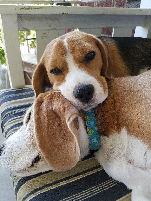 Sweet Dreams Beagle Dog Beagle Puppy Cute Beagles