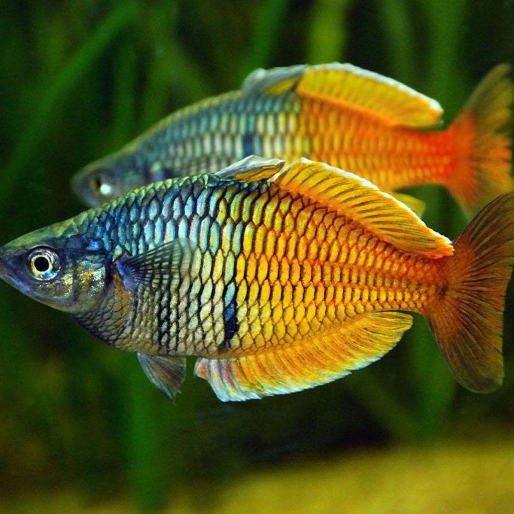 Boesemani Rainbow Rainbow Fish Aquarium Fish Tropical Fish