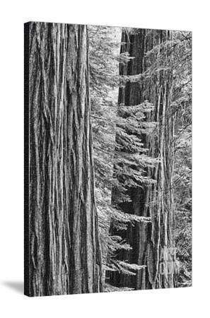 USA, California, Yosemite NP. Sequoia Trees in the Mariposa Grove Photographic Print by Dennis Flaherty at Art.com