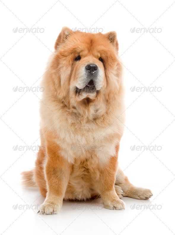 Chow Chow Dog In Studio Shot On White Background Chow Chow Dogs