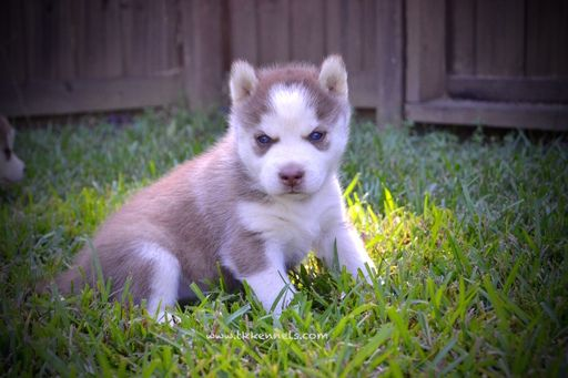 Siberian Husky Puppy For Sale In Grayson La Usa Adn 43563 On